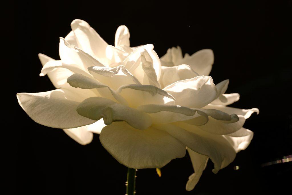 White Rose Oregon 18 August 2020 Copyright 2020 Steve J Davis