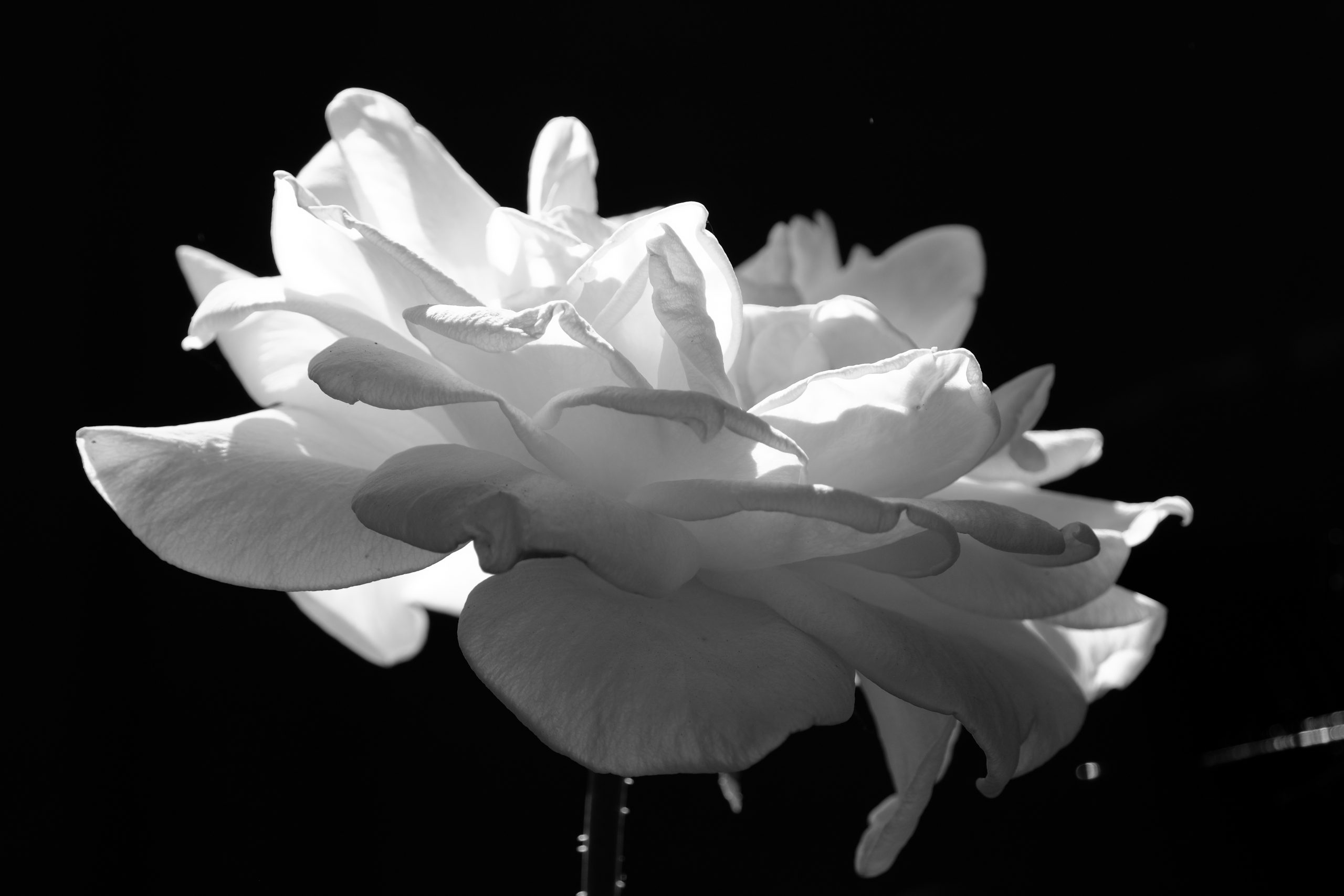 White Rose Oregon 18 August 2020 Black and White Copyright 2020 Steve J Davis