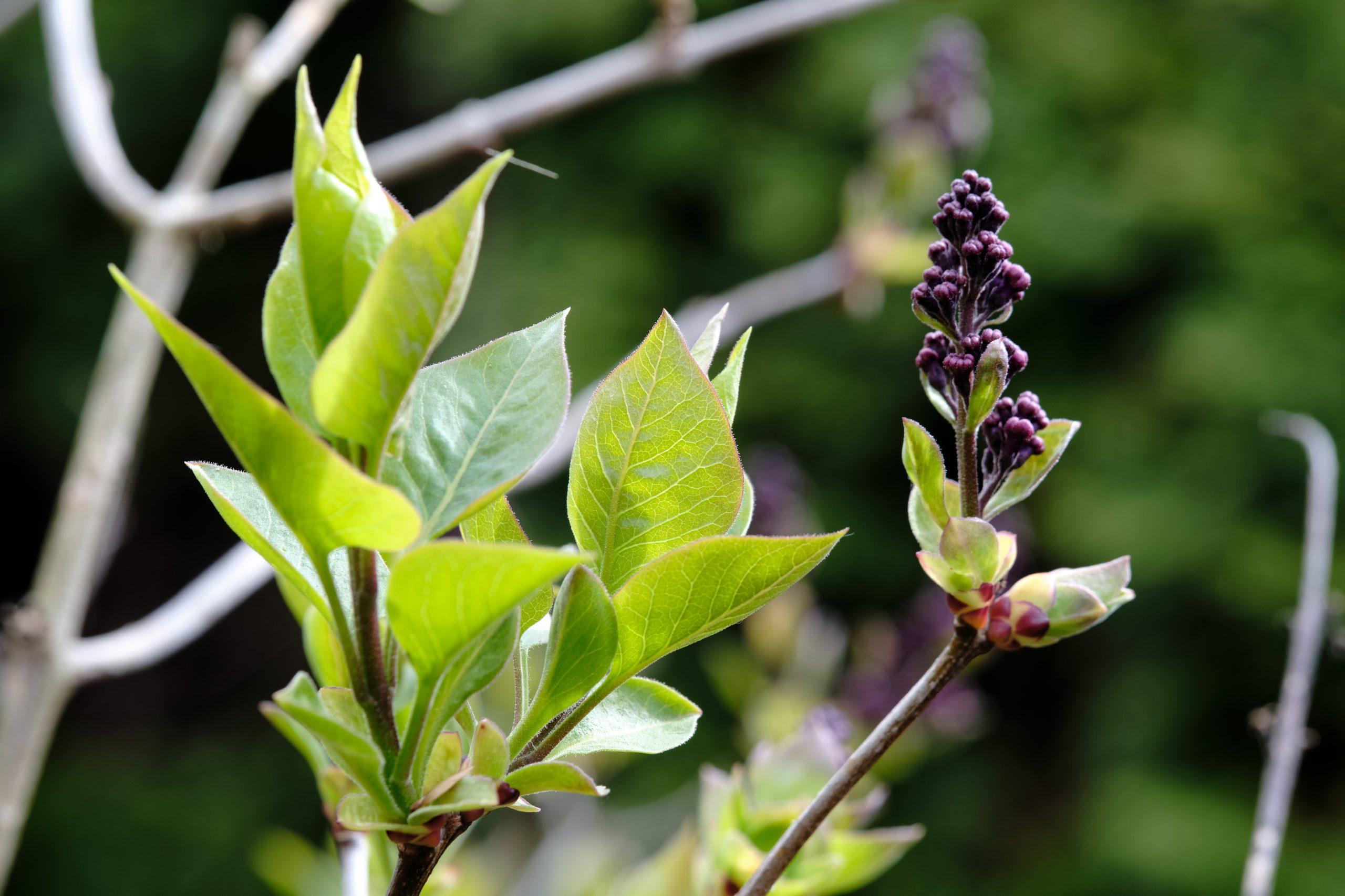 Lilac in Bloom 8 April 2021 Oregon Copyright Steve J Davis