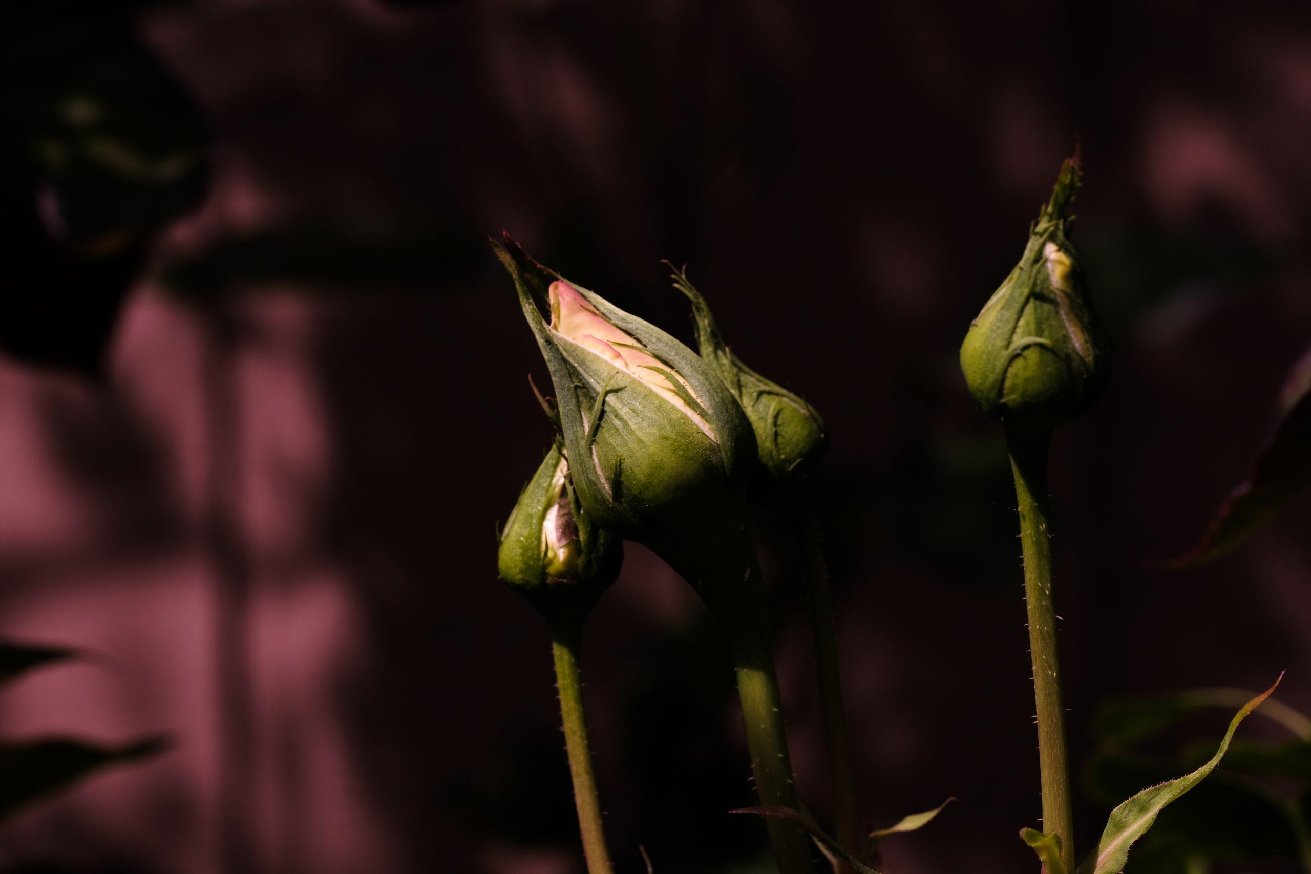Roses_Oregon_3_May_2021 Copyright Steve J Davis