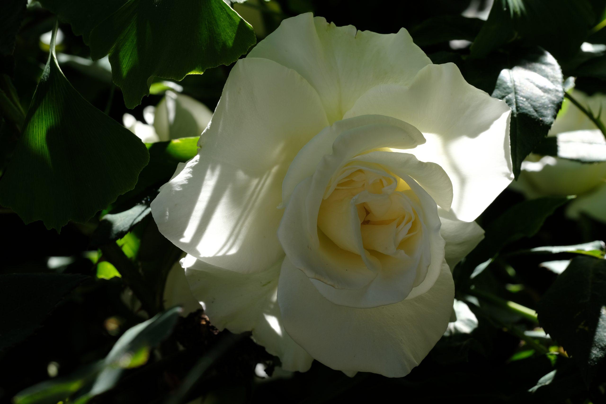 White Rose Oregon 16 May 2021 Copyright by Steve J Davis